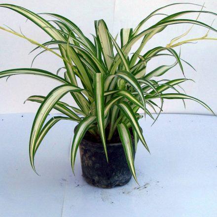 planta păianjen- voalul miresei